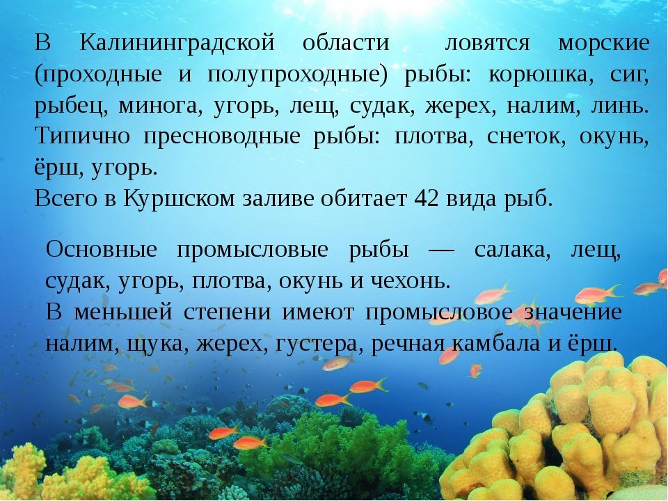 В Калининградской области ловятся морские (проходные и полупроходные) рыбы: к...