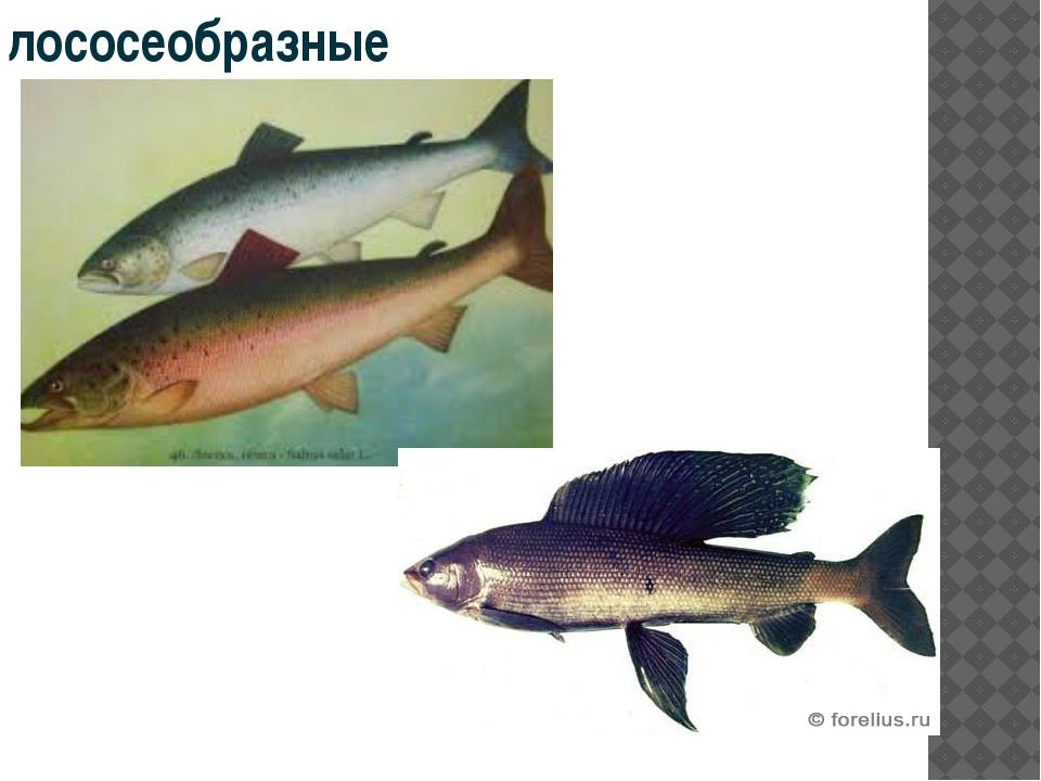 лососеобразные