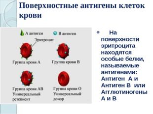 Поверхностные антигены клеток крови На поверхности эритроцита находятся особы