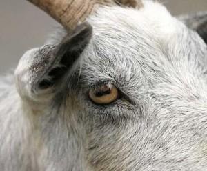 Козьи глаза