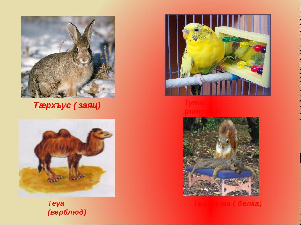 Тæрхъус ( заяц) Тути (попугай) Тыртына ( белка) Теуа (верблюд)