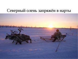 Северный олень запряжён в нарты