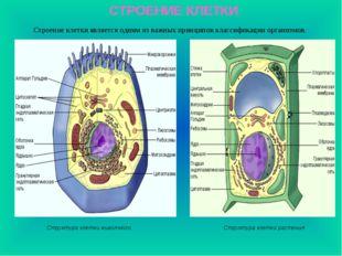 СТРОЕНИЕ КЛЕТКИ Строение клетки является одним из важных принципов классифика