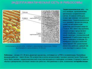 ЭНДОПЛАЗМАТИЧЕСКАЯ СЕТЬ И РИБОСОМЫ Эндоплазматическая сеть: гладкая и грануля