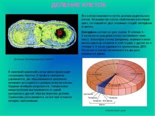 ДЕЛЕНИЕ КЛЕТОК Деление бактериальной клетки Все клетки появляются путём делен