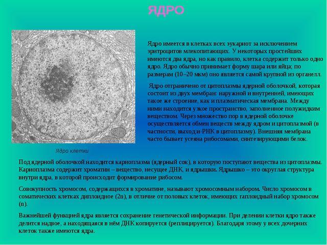 ЯДРО Ядро имеется в клетках всех эукариот за исключением эритроцитов млекопит...