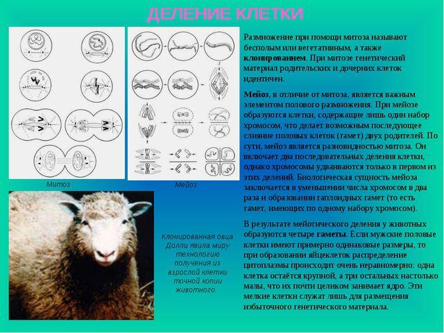 ДЕЛЕНИЕ КЛЕТКИ Митоз Мейоз Клонированная овца Долли явила миру технологию пол...