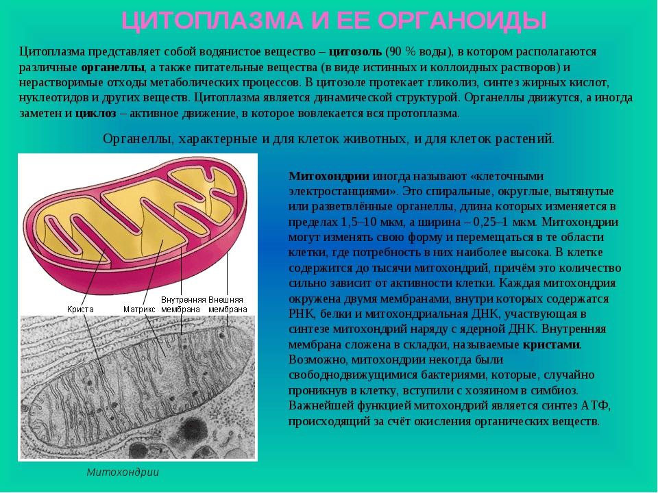 ЦИТОПЛАЗМА И ЕЕ ОРГАНОИДЫ Цитоплазма представляет собой водянистое вещество –...