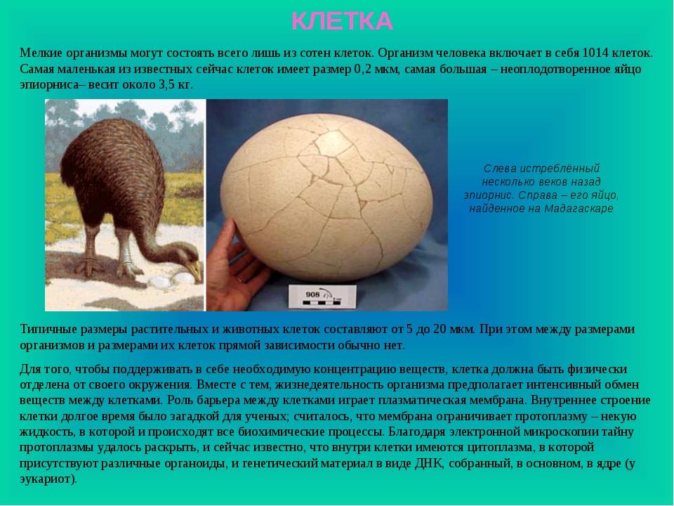 КЛЕТКА Слева истреблённый несколько веков назад эпиорнис. Справа – его яйцо,...