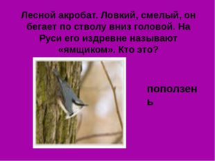 Лесной акробат. Ловкий, смелый, он бегает по стволу вниз головой. На Руси его
