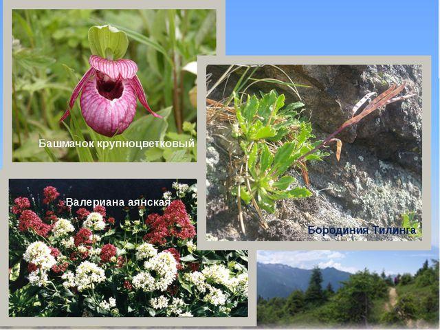Башмачок крупноцветковый Валериана аянская Бородиния Тилинга