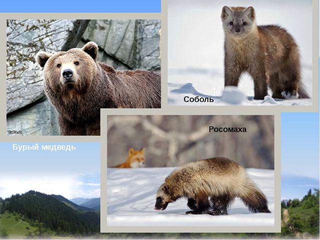 Бурый медведь Соболь Росомаха
