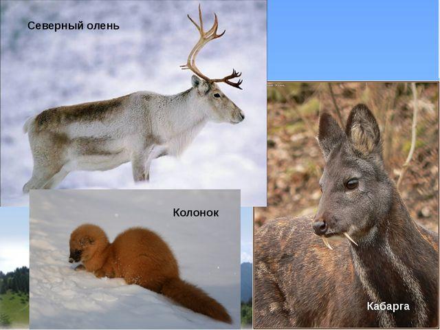 Северный олень Кабарга Колонок