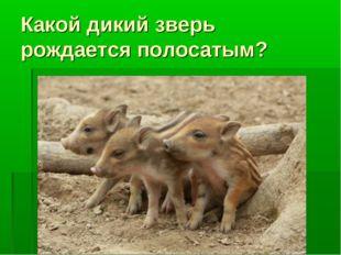 Какой дикий зверь рождается полосатым?