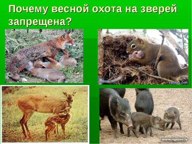 Почему весной охота на зверей запрещена?