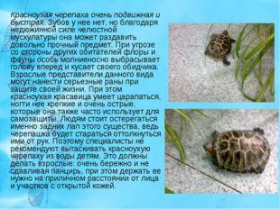 Красноухая черепаха очень подвижная и быстрая. Зубов у нее нет, но благодаря