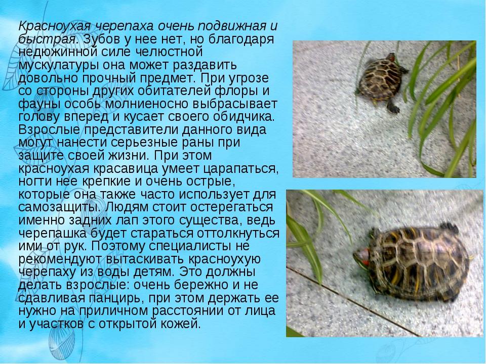 Красноухая черепаха очень подвижная и быстрая. Зубов у нее нет, но благодаря...