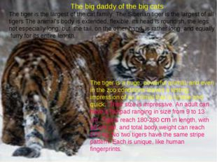 The big daddy of the big cats The tiger is the largest of the cat family. Th