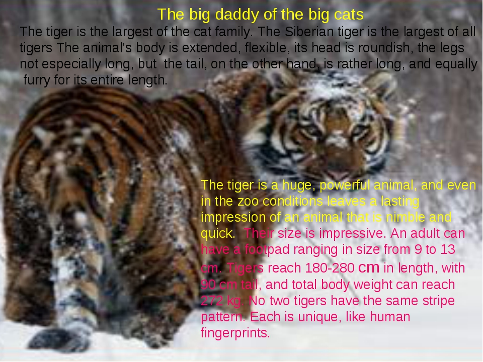 The big daddy of the big cats The tiger is the largest of the cat family. Th...