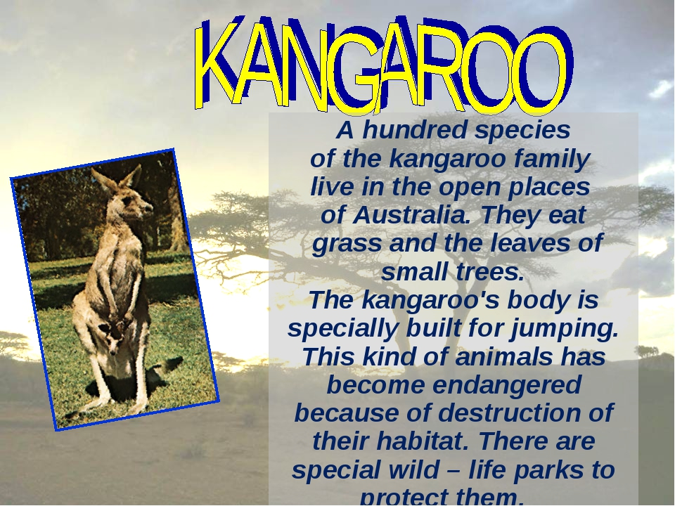 A hundred species of the kangaroo family live in the open places of Australia...