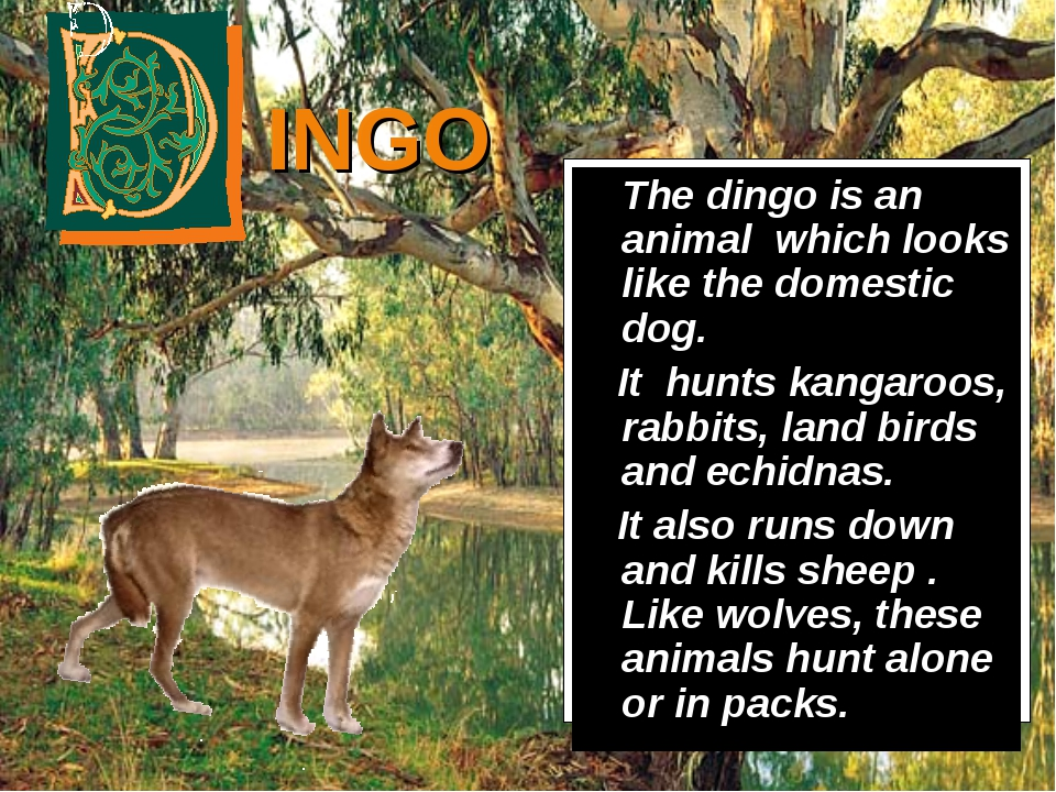 INGO 	The dingo is an animal which looks like the domestic dog. It hunts kang...