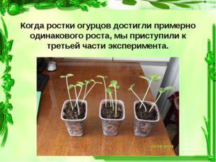 Когда ростки огурцов достигли примерно одинакового роста, мы приступили к тр