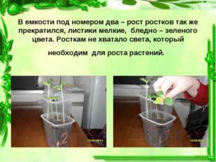 В емкости под номером два – рост ростков так же прекратился, листики мелкие,