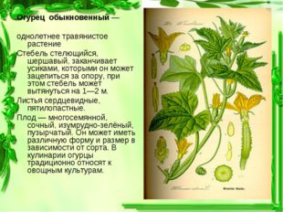 Огурец обыкновенный— однолетнее травянистое растение Стебель стелющийся, шер