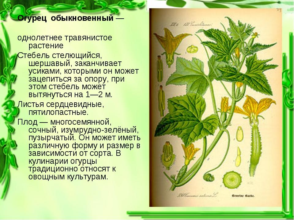 Огурец обыкновенный— однолетнее травянистое растение Стебель стелющийся, шер...
