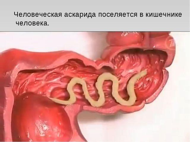 Человеческая аскарида поселяется в кишечнике человека.