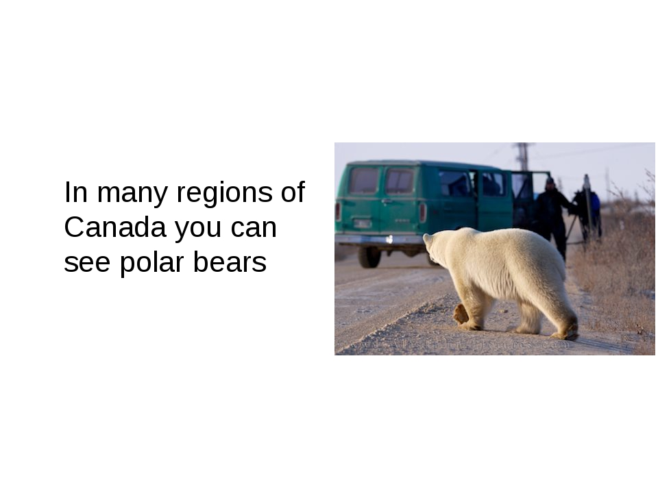 In many regions of Canada you can see polar bears