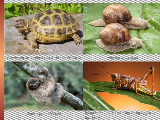 Сухопутные черепахи-не более 900 м/ч. Улитки – 50 см/ч Ленивцы – 150 м/ч Кузн...