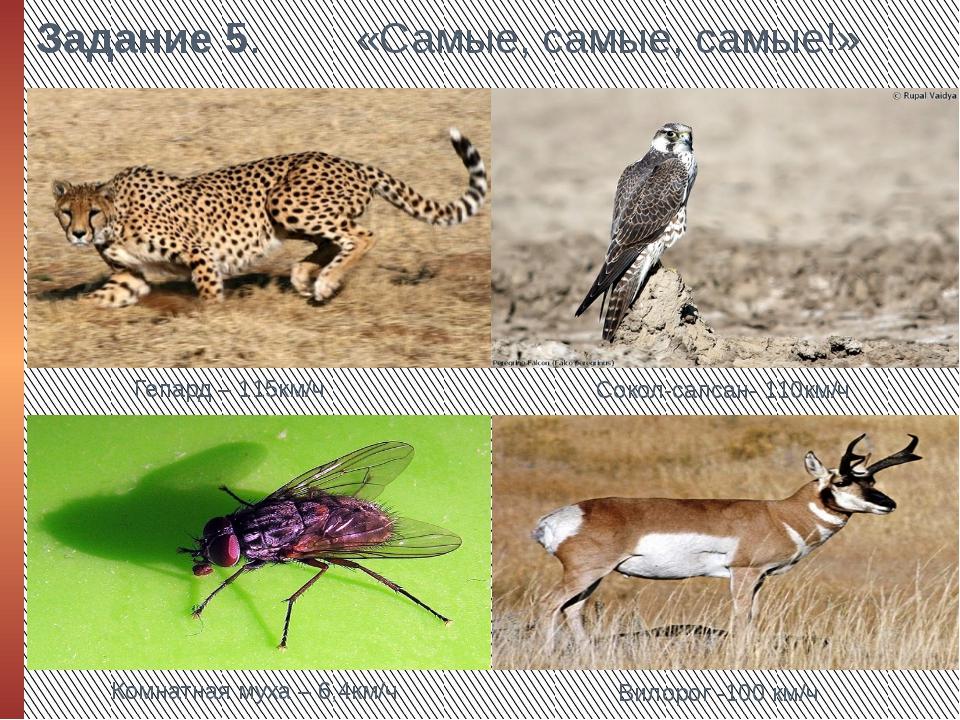 Задание 5. «Самые, самые, самые!» Гепард – 115км/ч Сокол-сапсан- 110км/ч Комн...