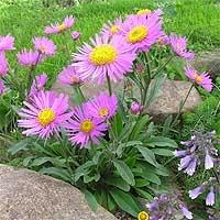http://flower.onego.ru/other/enc_8091.jpg
