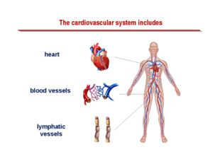 The cardiovascular system includes heart blood vessels lymphatic vessels