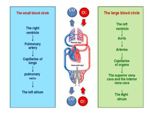 The right ventricle Pulmonary artery Capillaries of lungs pulmonary veins The
