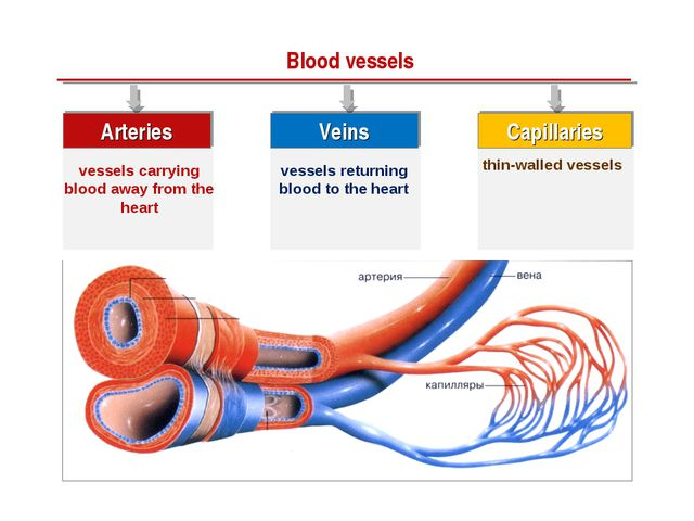Blood vessels Arteries vessels carrying blood away from the heart Veins vesse...
