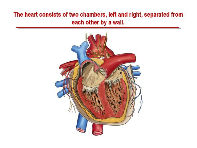 The heart consists of two chambers, left and right, separated from each other...