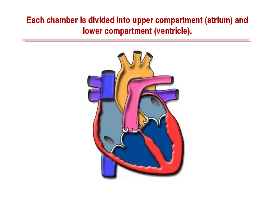 Each chamber is divided into upper compartment (atrium) and lower compartment...
