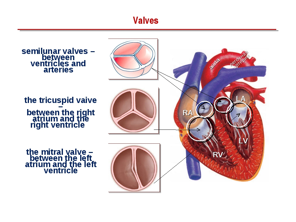 Valves the tricuspid vaive – between the right atrium and the right ventricle...