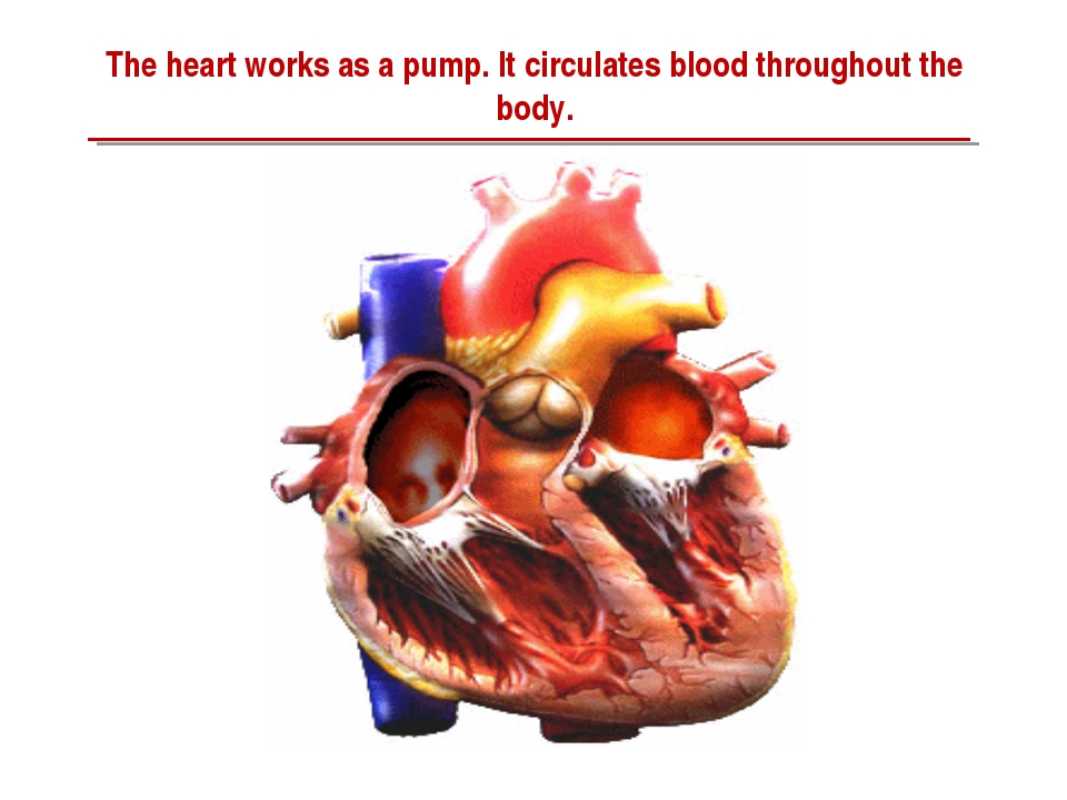 The heart works as a pump. It circulates blood throughout the body.