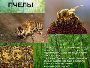 ПЧЕЛЫ Пчёлы(ед. ч.пчела;лат.Anthophila)— секция в надсемействеApoideaл