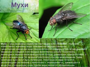 Мухи Мухи— род насекомых семействаНастоящие мухи(Muscidae). Наиболее хозяй