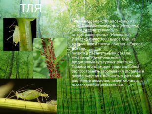 ТЛЯ Тля— надсемействонасекомыхиз отрядаполужесткокрылых (Hemiptera). Ране