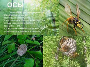 ОСЫ О́сы— не имеющее строго научного определения название некоторыхнасекомы