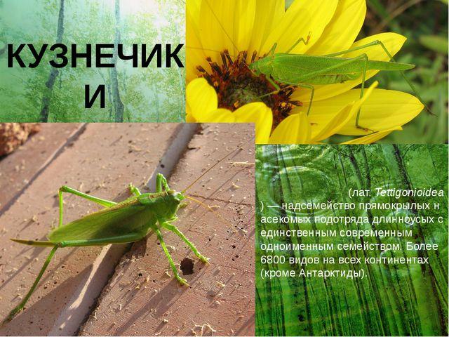 КУЗНЕЧИКИ Кузне́чиковые(лат.Tettigonioidea)—надсемействопрямокрылыхнасе...