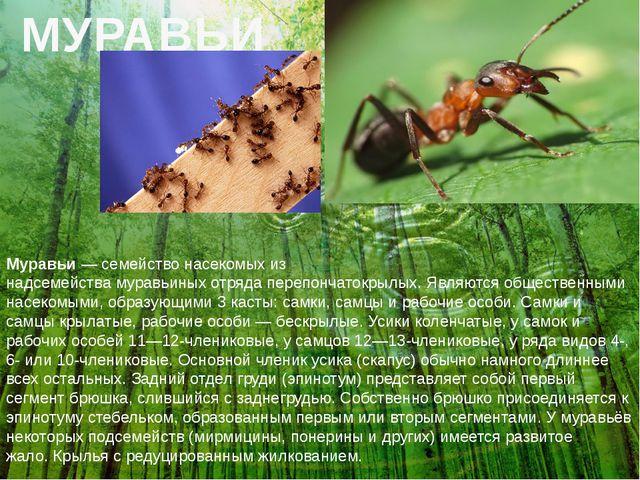 МУРАВЬИ Муравьи—семействонасекомыхиз надсемействамуравьиныхотрядапереп...