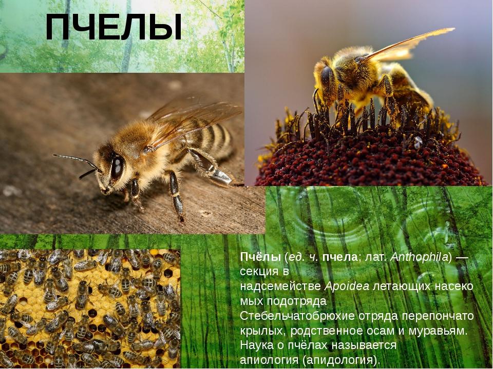ПЧЕЛЫ Пчёлы(ед. ч.пчела;лат.Anthophila)— секция в надсемействеApoideaл...