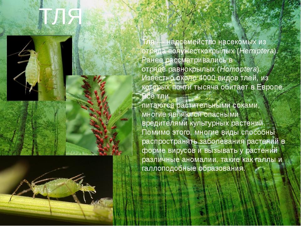 ТЛЯ Тля— надсемействонасекомыхиз отрядаполужесткокрылых (Hemiptera). Ране...