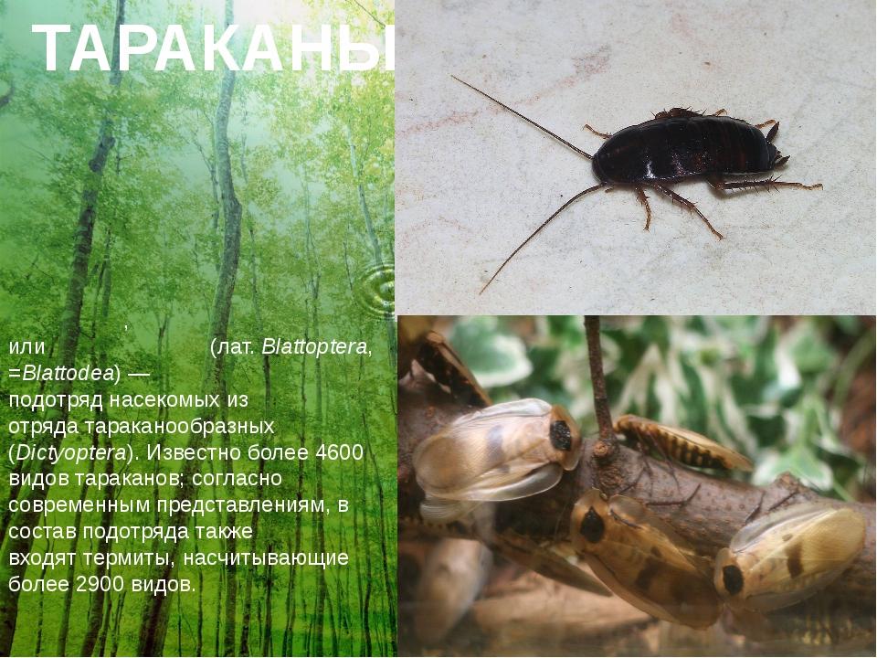 ТАРАКАНЫ Тарака́ны, илитарака́новые(лат.Blattoptera, =Blattodea)— подотря...
